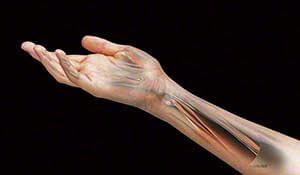 anatomical structural view of the muscles, veins, arteries and soft tissue structure of the elbow, wrist and hand