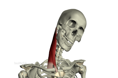Anatomy of Neck Musculature