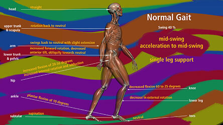 Neuroanatomy and the Gait Cycle
